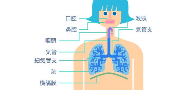 解剖学的な呼吸器系の図