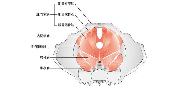 骨盤底筋群を表した図