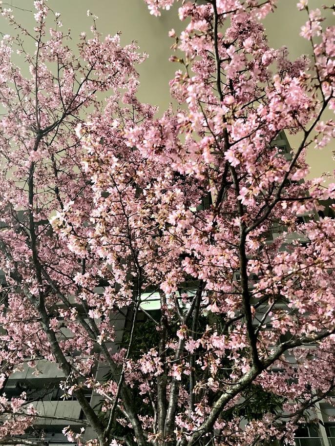 道に咲いていた河津桜