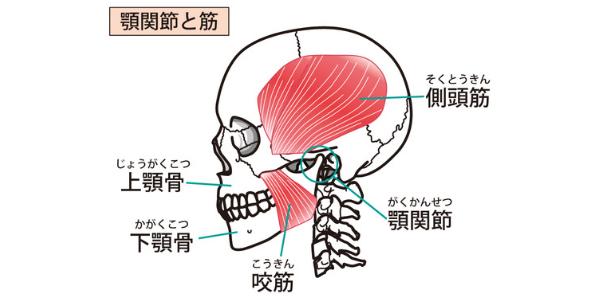 顎関節とそれに付随する筋肉を表した図