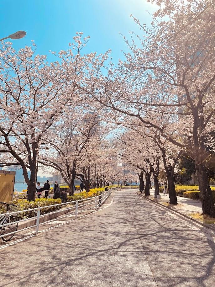 桜が咲いている道の写真