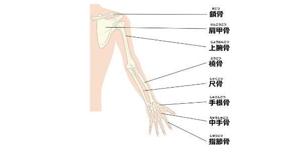 肩甲骨から上腕骨、前腕骨について説明している図