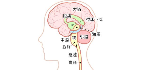 脳の分布を表した図