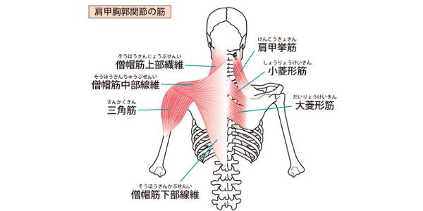 肩甲骨周辺についている筋肉の図