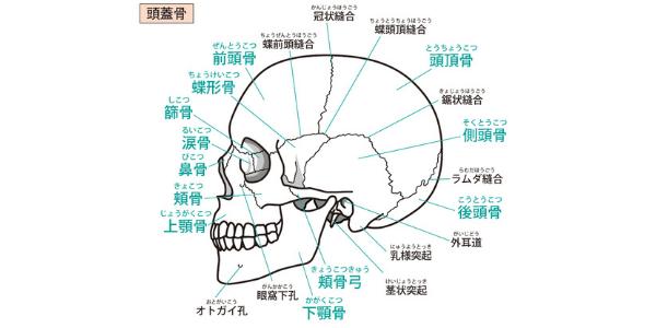 頭蓋骨を表した図