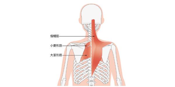 背中にある筋肉を表した図
